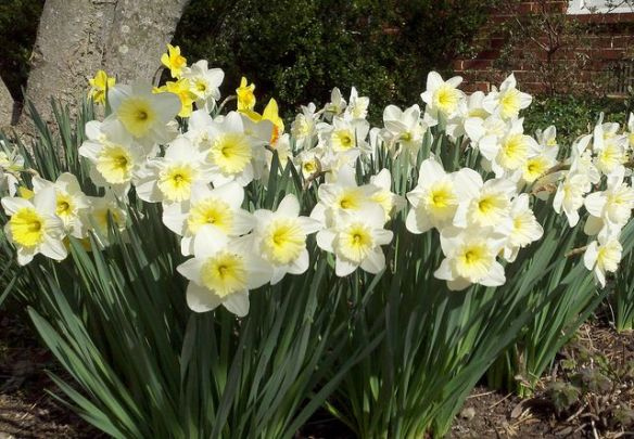 Daffodils, photo by Merry Bond